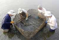 restoring oysters  on the South River in Maryland
